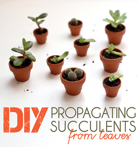 DIY – Propagating Succulents from Leaves